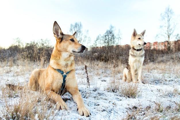 Portret van twee bastaardhonden die op een de winterweide zitten en camera bekijken