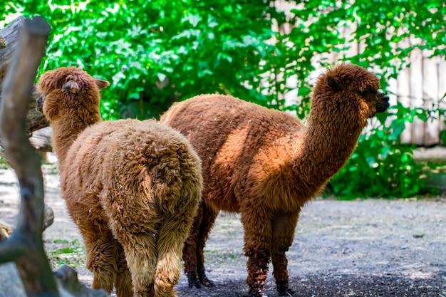 Portret van twee bruine alpaca's die op een zonnige zomerdag in de camera kijken in een groen veld.