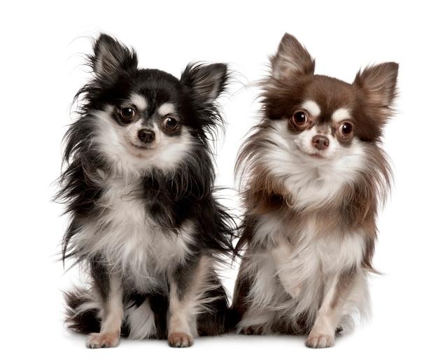 Portret van twee chihuahuas, 7 jaar oud. geïsoleerd hondportret