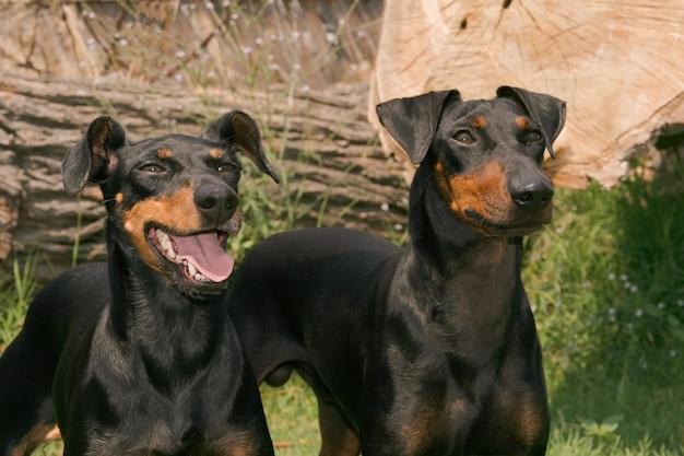 Portret van twee honden van manchester terrier