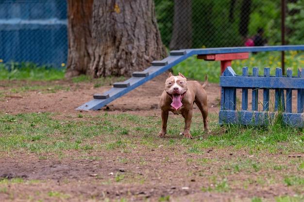 Portret van vechthonden voor een wandeling in het park. stier