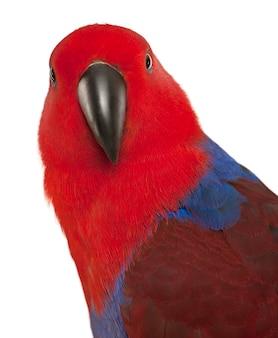 Portret van vrouwelijke eclectus papegaai, eclectus roratus, voor witte achtergrond