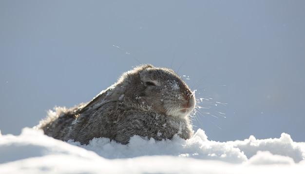 Portret van wilde bruine kleine haas in de sneeuw