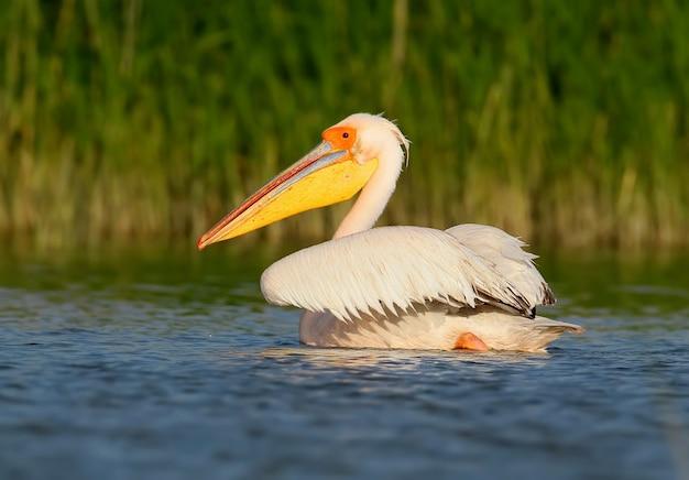 Portret van witte pelikaan in mooi ochtendlicht close-up.
