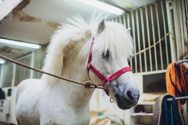 Portret van witte pony met mooie manen