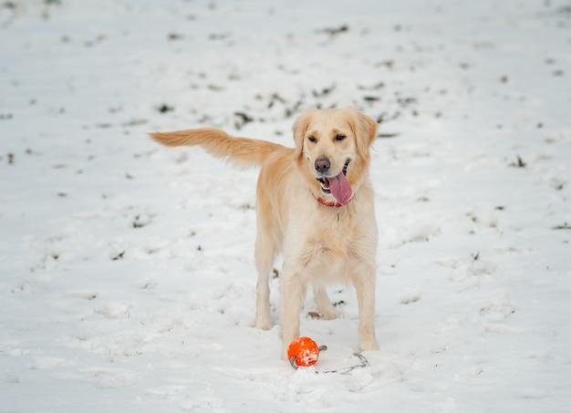 Portret van witte retrieverhond op de winterachtergrond. witte golden retriever pup kijken op waait sneeuwval. zonnige winterdag