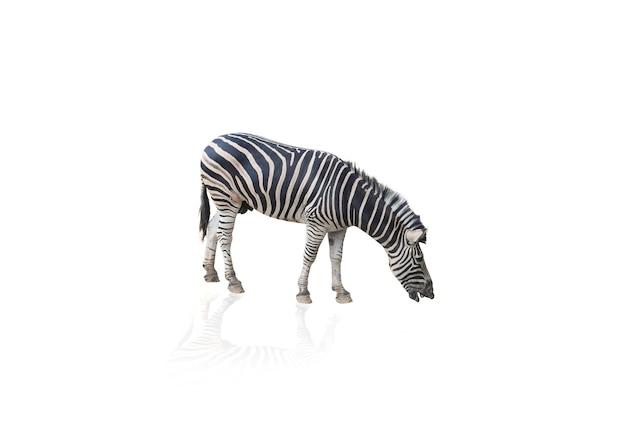 Portret van zebra op witte achtergrond wordt geïsoleerd die