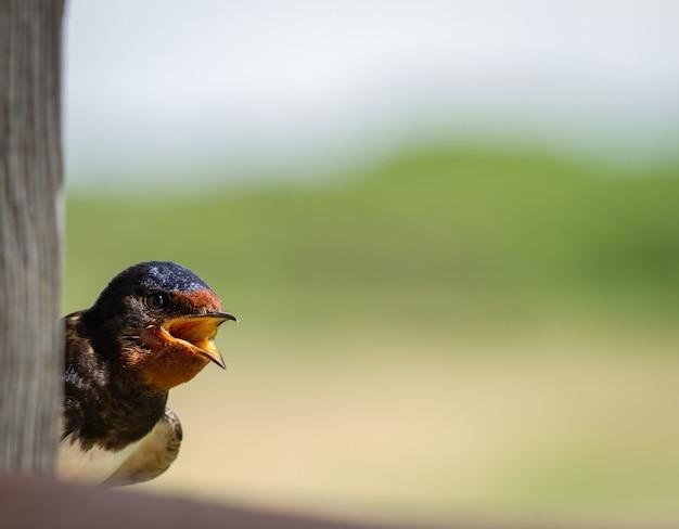 Portret van zwaluw
