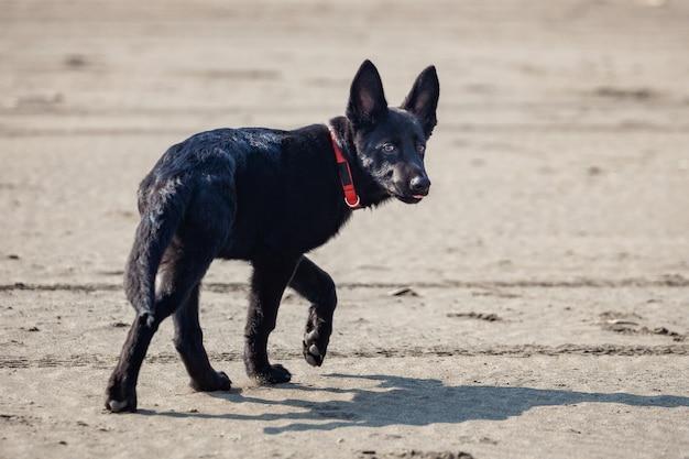Portret van zwarte duitse herder op zwart zandstrand. dier.