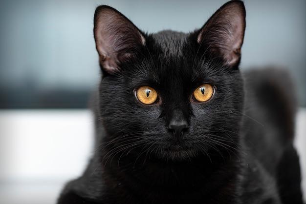 Portret van zwarte kat thuis