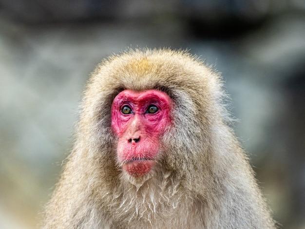 Portretfoto van een volwassen japanse makaak