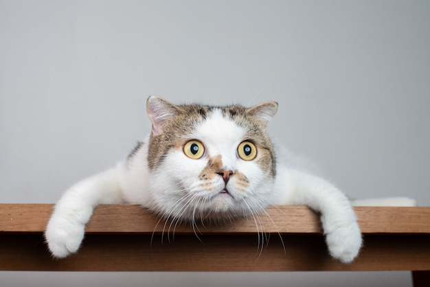 Portretfoto van schotse vouwkat met schokkend gezicht en wijd open ogen.