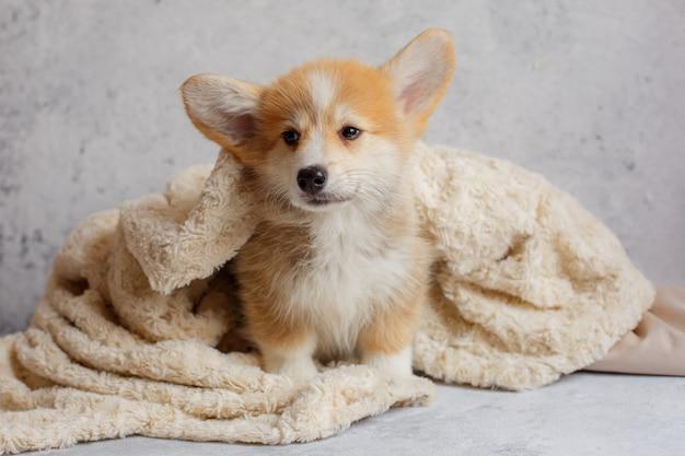 Portretten van een corgi-puppy in een deken