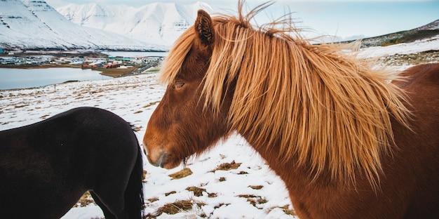 Portretten van ijslandse racepaarden op een besneeuwde berg, beschermde rasechte dieren.