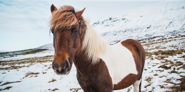 Portretten van ijslandse renpaarden op een besneeuwde berg, beschermde rasechte dieren.