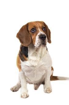 Portrit van amerikaanse beagle hond zittend op een witte studio achtergrond, serieus kijken
