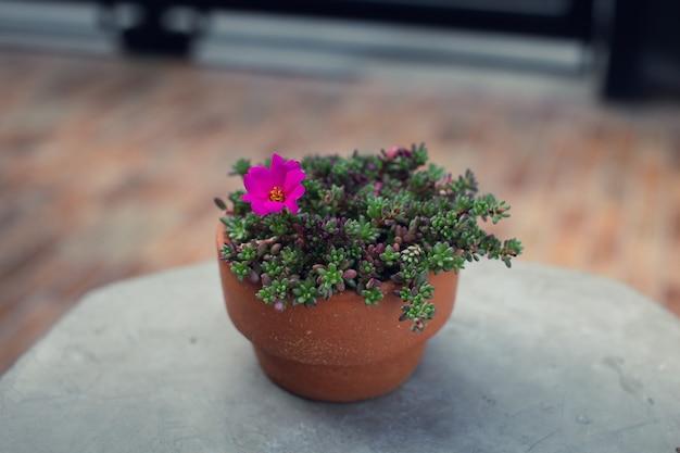 Portulaca gilliesii in de aarden pot. vetplant