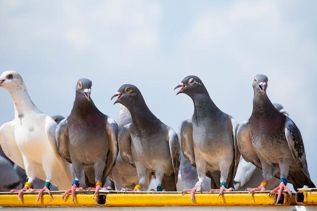Postduifvogel die op het dak van de huiszolder neerstrijkt