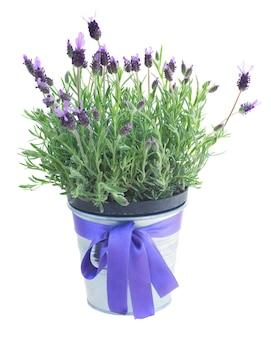 Pot met lavendelbloemen die op witte ruimte worden geïsoleerd