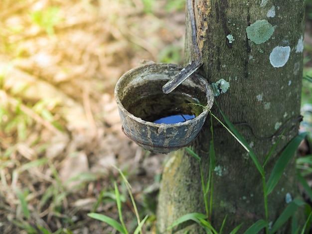 Pot of kom voor gevulde rubberlatex op rubberboom in aanplanting, thailand.
