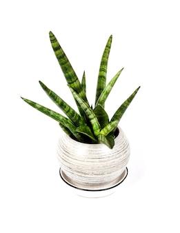 Pot sansevieria cylindrica var. patula (boncel) op wit wordt geïsoleerd