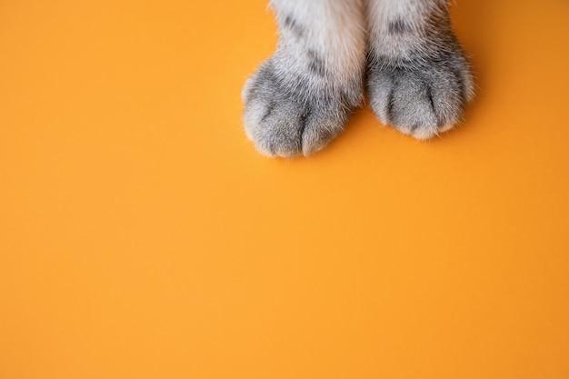 Poten van een grijze kat op een oranje achtergrond.