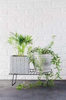Potplanten chamaedorea elegans en klimop in de buurt van witte bakstenen muur.