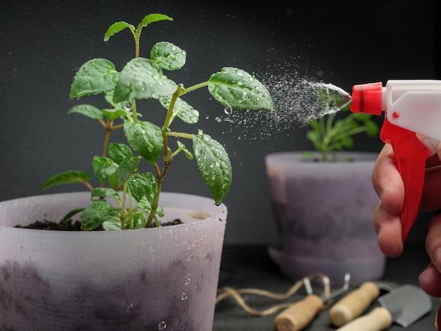 Potplanten sproeien met water uit een spuitfles