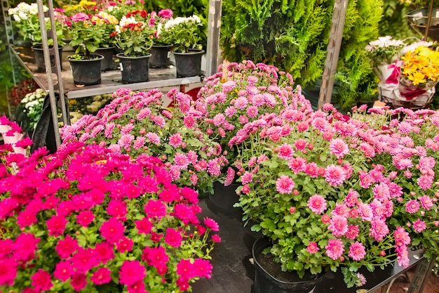 Potten met bloeiende chrysanten in de kas van een bloemenwinkel