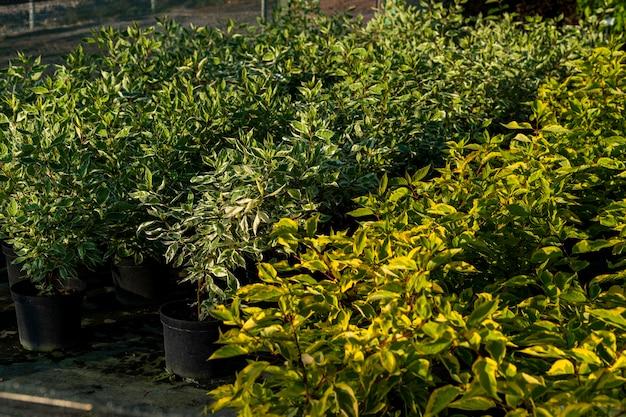 Potten met groene planten in het tuincentrum en in de kas