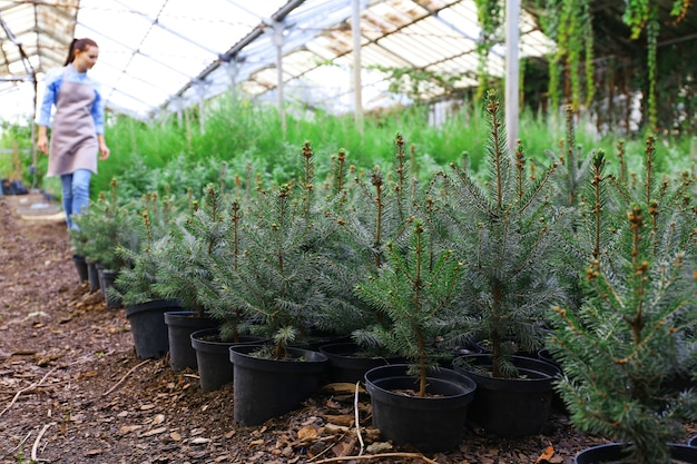 Potten met jonge dennenboomplanten in kas