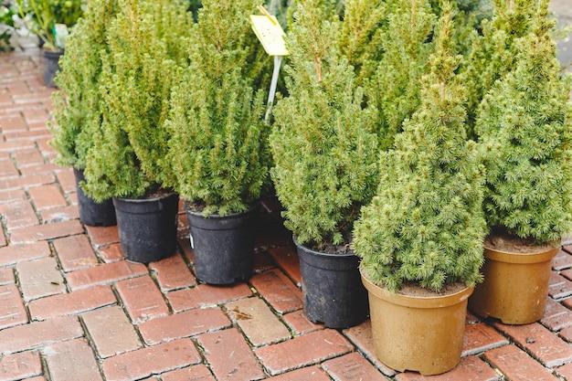 Potten met jonge naaldboom in tuinmarkt, serre, tuincentrum. kleine dennenpot te koop.