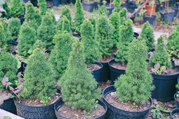 Potten met jonge naaldplanten in kas