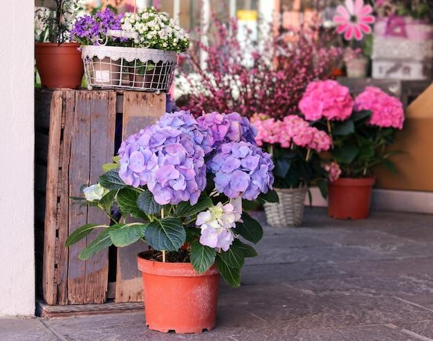 Potten met mooie bloeiende roze en paarse hortensiabloemen te koop