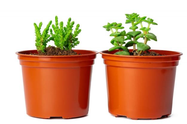 Potten met succulente installaties op wit worden geïsoleerd dat