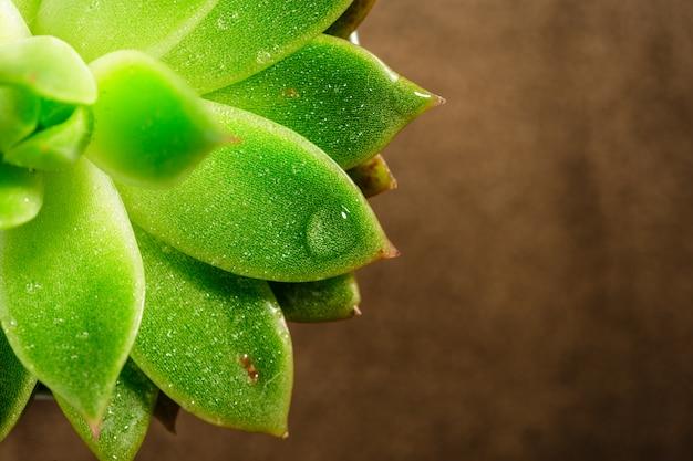 Potten met vetplanten van echeveria