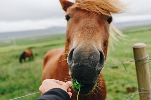 Pov vrouw voedt wild paard