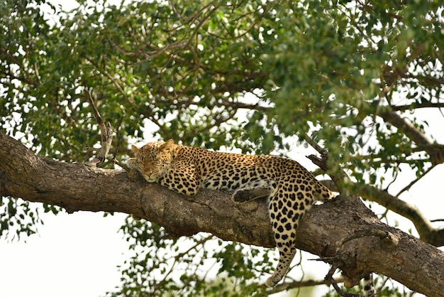 Prachtig afrikaans luipaard op een tak van een boom gevangen in de afrikaanse oerwouden
