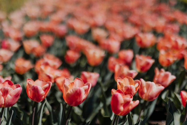Prachtig bloeiend roze tulpenveld