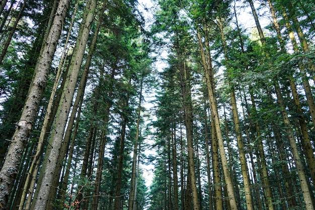 Prachtig bos van hoge dennen