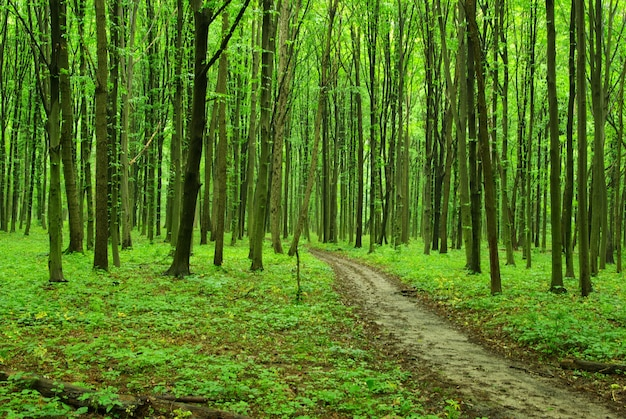 Prachtig groen bos in de zomer