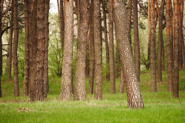 Prachtig groen bos met dennen en gras