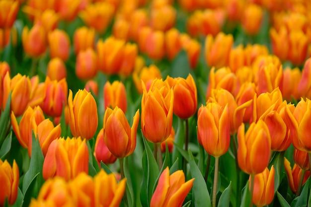 Prachtig kleurenboeket van tulpen in het voorjaar