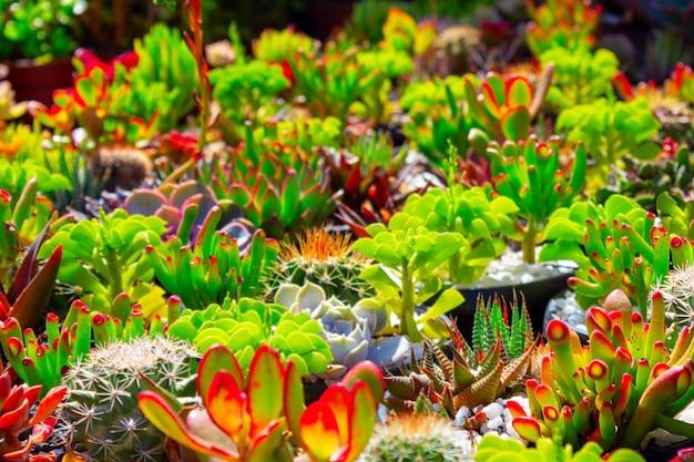 Prachtig kleurrijk veld met cactussen bloemen op de zonnige dag