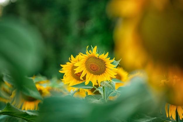 Prachtig landschap op een veld met zonnebloemen een felgele bloem