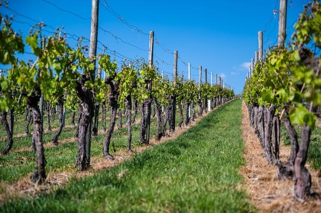 Prachtig landschap van een wijngaard onder een heldere blauwe hemel overdag