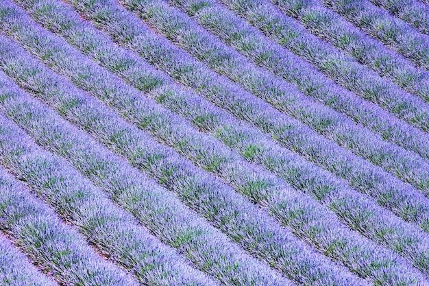 Prachtig lavendelveld