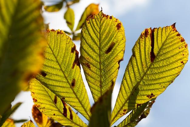 Prachtig natuurlijk kastanjeblad dat in de herfst van kleur veranderde, close-up van kastanjebomen