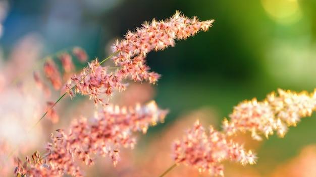 Prachtig natuurlijk landschap helder kleurrijk de veld rode bloem van tropisch gras onder het zonlicht in de weide tijdens zonsondergang, oranje geel groen voor de zomer natuur achtergrond, 16:9 breedbeeld