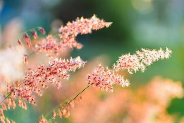 Prachtig natuurlijk landschap helder kleurrijk de veld rode bloem van tropisch gras onder het zonlicht in de weide tijdens zonsondergang, oranje geel groen voor de zomer natuur achtergrond